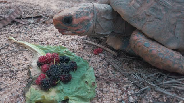 Turtle eating red fruits Front vision of a turtle eating blackberries and raspberries tortoise stock videos & royalty-free footage
