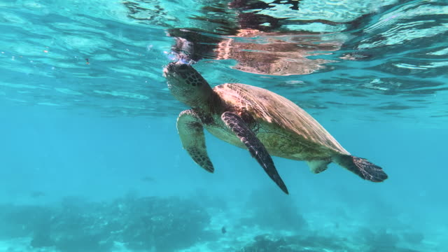 A turtle eats small jellyfish at the surface of the ocean in turquoise blue water, cleaning up the sea and controlling the population. A turtle eats small jellyfish at the surface of the ocean in turquoise blue water, cleaning up the sea and controlling the population. Can mistake Plastic bags for Jellyfish. turtle stock videos & royalty-free footage