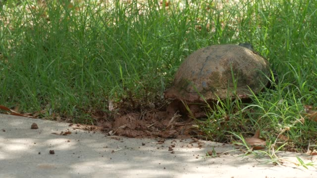 Turtle finishing off covering the ground with dirt where she buried her eggs