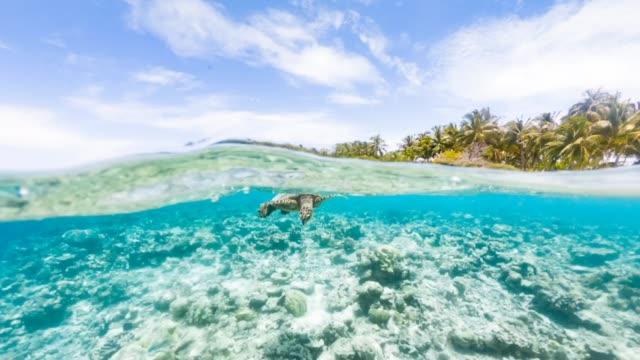 Turtle in a paradisiac sea at Maldives