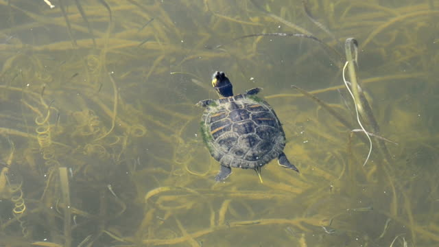 Turtle in the Florida Everglades Turtle swimming the in Florida Everglades swamp stock videos & royalty-free footage