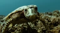 istock Turtle in the Pacific Ocean. Underwater marine life with beautiful turtle close-up in the sea. Tropical reptile near coral reef. Diving in the clear water - biodiversity, environment issue, conservation 1207196780