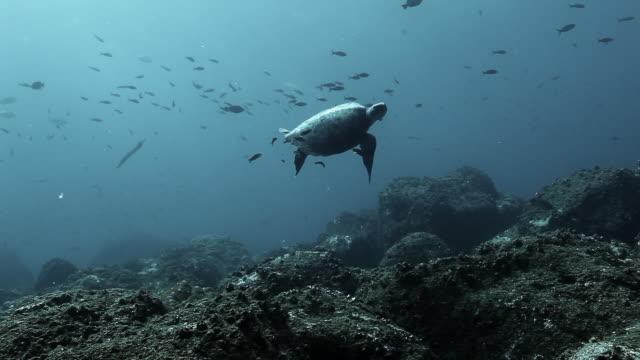 Schildpad in het ondewatere zee- en oceaanleven op de Galapagoseilanden. video