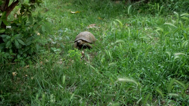 turtle is moving along the green grass - żółw lądowy filmów i materiałów b-roll