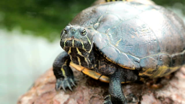 Turtle is sitting on the stone close-up. Turtle is sitting on the stone close-up reptile stock videos & royalty-free footage