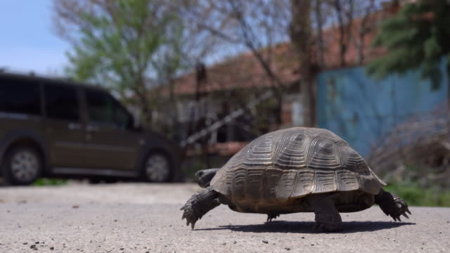 A turtle is walking on street. A turtle is walking on street. tortoise stock videos & royalty-free footage