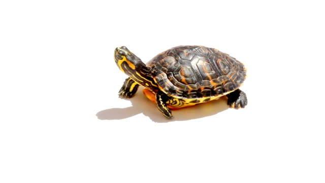 Turtle isolated Turtle isolated on white background. turtle stock videos & royalty-free footage