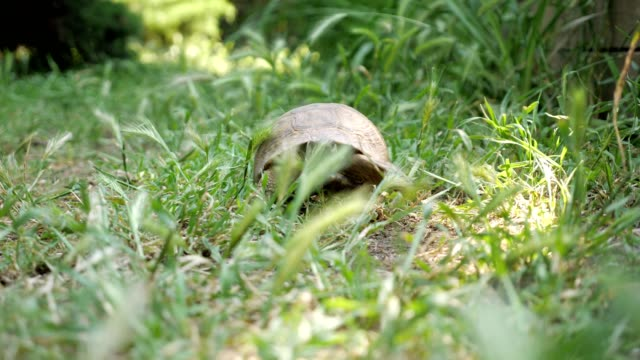 vídeos de stock e filmes b-roll de turtle moving on fresh green grass to the camera - organismo vivo