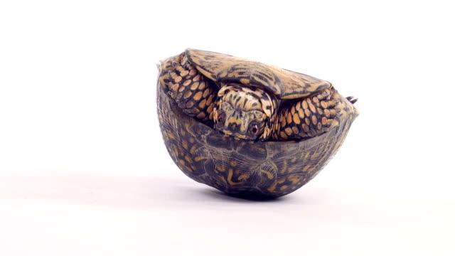 vidéos et rushes de tortues sur son dos - tortue
