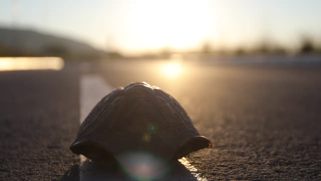 Turtle on the road at sunset