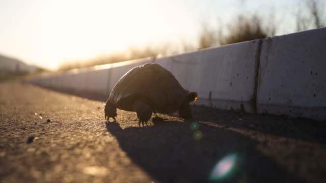 Turtle on the road at sunset Turtle on the road at sunset tortoise stock videos & royalty-free footage