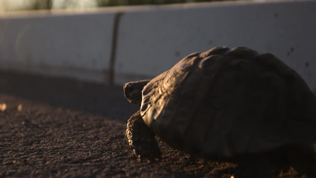 Turtle on the road at sunset video