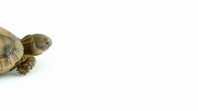 Turtle on white background Turtle on white background turtle stock videos & royalty-free footage