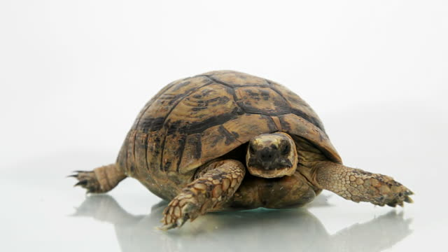 Turtle on white background Turtle tortoise stock videos & royalty-free footage