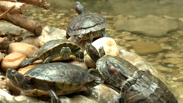 Turtle, red eared slider, sunbath on rocks Turtle, red eared slider, sunbath on rocks turtle stock videos & royalty-free footage