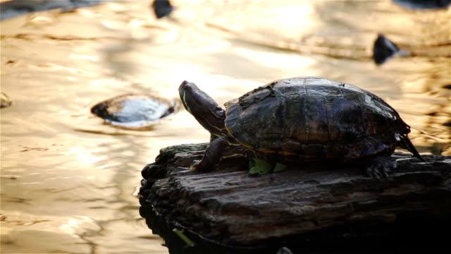 "turtle, Red-eared slider or ""Trachemys scripta elegans"" sunbathe on rock in pond, HD turtle, Red-eared slider or ""Trachemys scripta elegans"" sunbathe on rock in pond, HD tortoise shell stock videos & royalty-free footage"