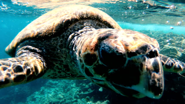 Turtle. Sea turtle swims in the red sea Turtle. Sea turtle swims in the red sea turtle stock videos & royalty-free footage