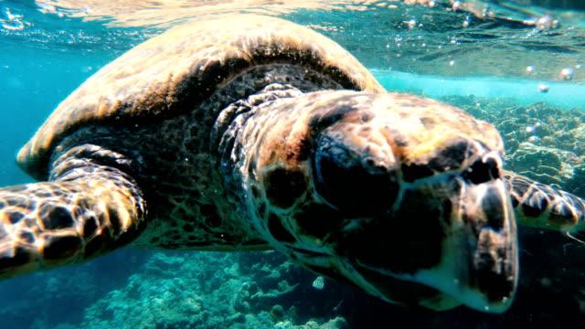 vidéos et rushes de tortue. la tortue de mer nage dans la mer rouge - tortue