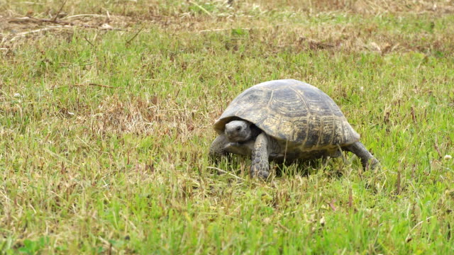 Turtle slowly moving through the scene on green grass Turtle slowly moving through the scene on green grass tortoise stock videos & royalty-free footage