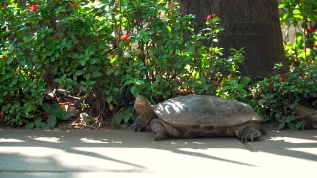 turtle slowly walking - żółw lądowy filmów i materiałów b-roll