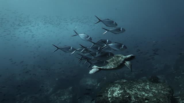 De schildpad zwemt samen die door vissen in undewater op de Eilanden van de Galapagos wordt omringd. video