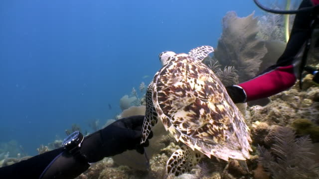Turtle swims together surrounded by people in undewater on Galapagos Islands. Turtle swims together surrounded by people in undewater sea and ocean life on background of marine wildlife on Cuba. Concept peaceful relations, friendship between underwater animals and people. tortoise shell stock videos & royalty-free footage