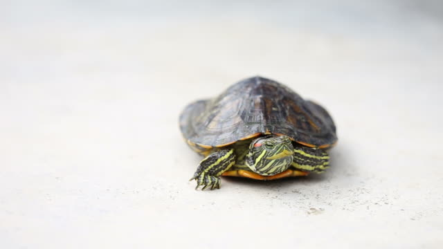 turtle turn oneself over video