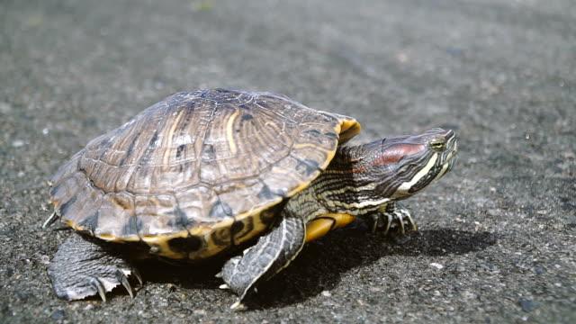 Turtle. Turtle crawling on asphalt Turtle. Turtle crawling on asphalt turtle stock videos & royalty-free footage