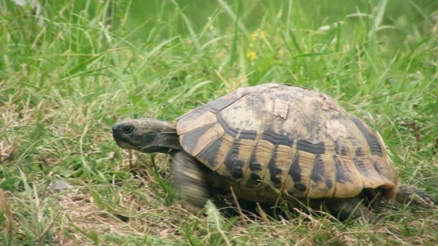 vidéos et rushes de tortue aquatique - tortue