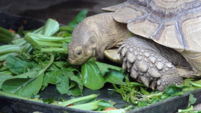 Turtle Video of Turtle eating vegetables. 4K(UHD) 3840x2160 format. turtle stock videos & royalty-free footage