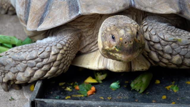 turtle - żółw lądowy filmów i materiałów b-roll