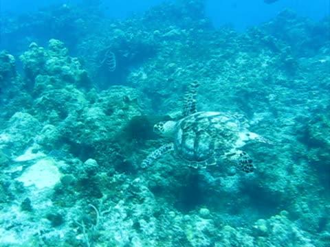 Turtle Turtle in the Caribbean sea aquatic organism stock videos & royalty-free footage