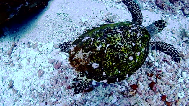 turtle turtle in the ocean hard coral stock videos & royalty-free footage