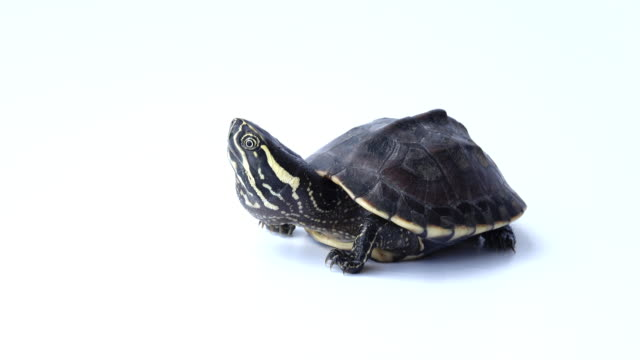 Turtle Turtle on white background turtle stock videos & royalty-free footage