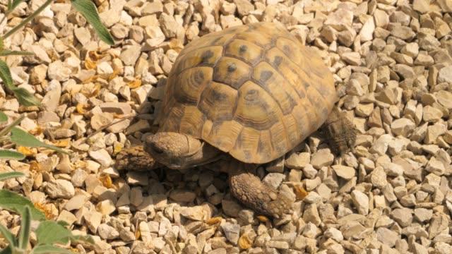 Turtle walking forward Turtle standing still on a rocky ground, then walks forward. tortoise shell stock videos & royalty-free footage