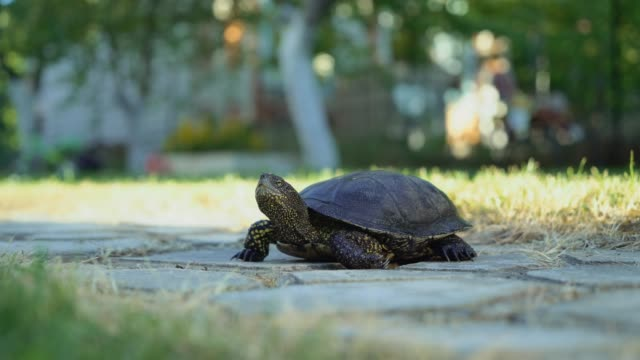 Turtle walking on the way. Turtle walking on the way. tortoise stock videos & royalty-free footage