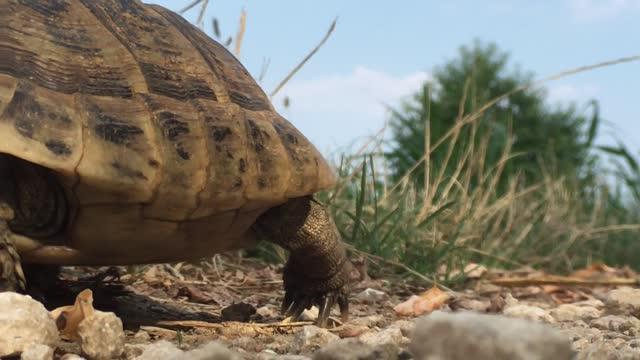turtle walking close up of Italian turtle, or hermann's tortoise, walking tortoise stock videos & royalty-free footage