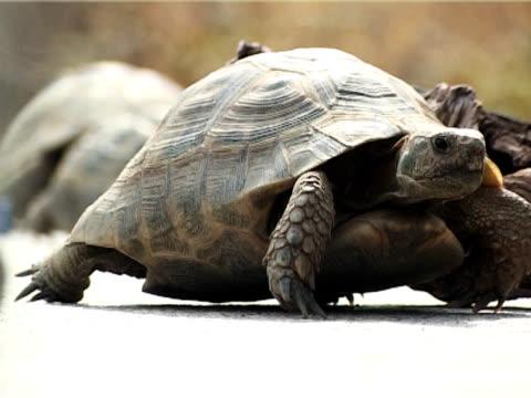 turtle chodzenia - część ciała zwierzęcia filmów i materiałów b-roll