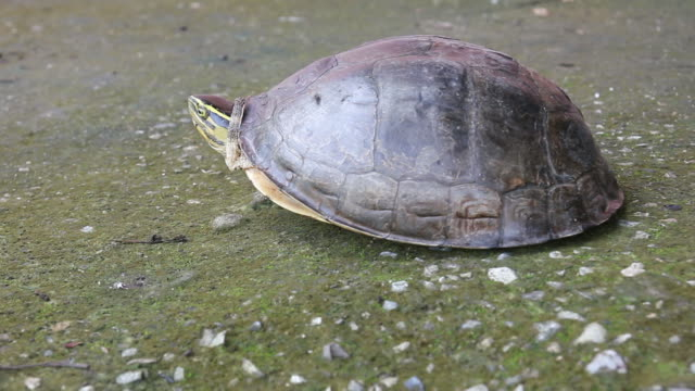 Turtle walks on concrete. One turtle carapace open reappear on the concrete floor and walk down to the creek. animal shell stock videos & royalty-free footage