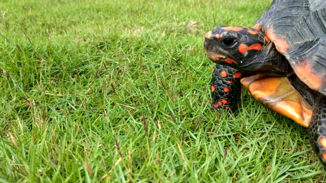 A turtle with orange cubes crawls on the grass