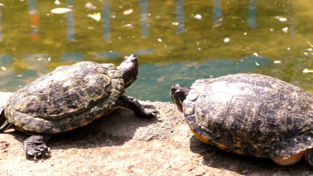 Turtles are basking in the sun. Two turtles bask in the sun near the water. tortoise shell stock videos & royalty-free footage