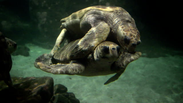 Tartarugas são acasalamento - vídeo