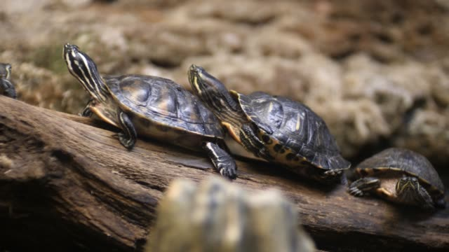 Turtles are sitting on a log