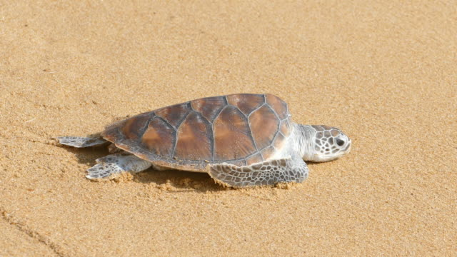 Turtles crawl to freedom Turtles crawl to freedom turtle stock videos & royalty-free footage