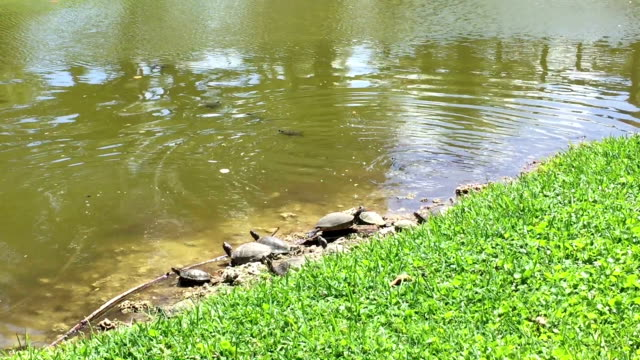 Turtles in the Pond A bunch of cute little turtles sitting in the water by the grassy shore of a pond. tortoise shell stock videos & royalty-free footage