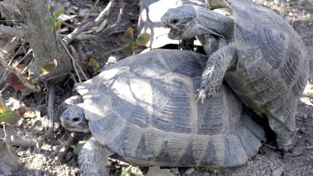 HD  : Accouplement de tortues au ralenti - Vidéo