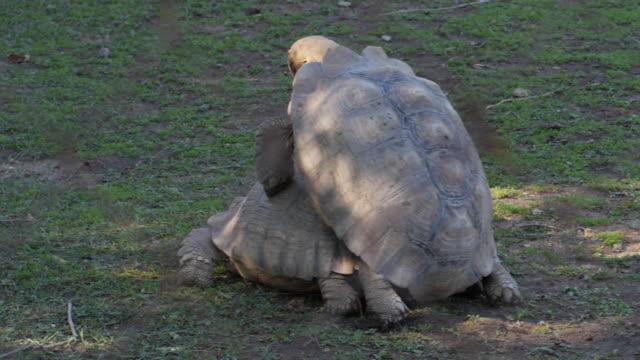 schildkröten, die paarung von hinten gesehen - großwild stock-videos und b-roll-filmmaterial