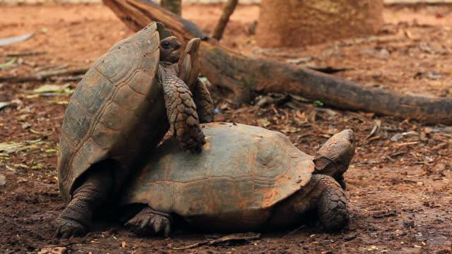 Tartarugas de acasalamento - vídeo