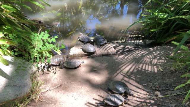 Turtles next to a river Turtles next to a river in California tortoise shell stock videos & royalty-free footage