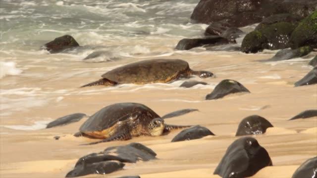 turtles on beach - żółw lądowy filmów i materiałów b-roll